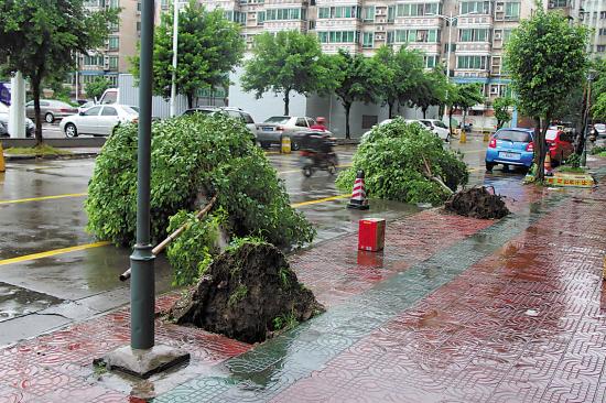 记者了解到,被风连根拔起的树木,不少的树坑土壤的含沙量较高.